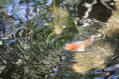 Koi ripples. Ripples on the water surface as a fish comes up Stock Photos