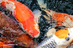 Koi ryba t?o Zbliżenie wiele kolorowi zanurzający Japońscy kois z wodą pluskocze na powierzchni Makro- zdjęcie royalty free
