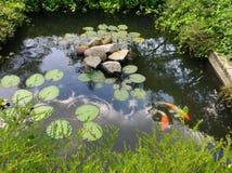 Koi ryba w stawie obrazy stock