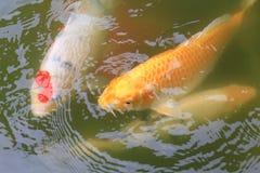Koi rybi dopłynięcie w stawie Obrazy Royalty Free