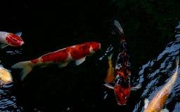 Koi rybi dopłynięcie w stawie lub Obraz Royalty Free