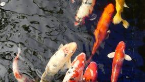 Koi ryby pływanie w stawach zbiory wideo