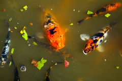 Koi in the Shoyoen Garden in Dubbo Australia Stock Photo