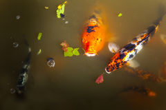 Koi in the Shoyoen Garden in Dubbo Australia Stock Images