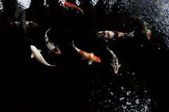 Koi simning i en vattenträdgård, färgrik koifisk Royaltyfri Bild