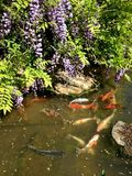 Koi Stream. Beautiful Chanticleer Garden Stock Photography