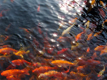 Koi swim under starry sun. Lots of koi are swimming in clean pond under starry sun,many bright starry  star can be seen in water Royalty Free Stock Images