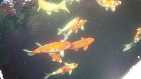 Koi swimming around in the pond stock footage