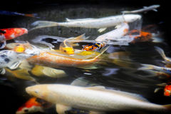 Koi swimming Stock Photography