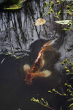 Koi Swimming in Pond. A koi fish undulates between the plants, creating ripples in the otherwise still water stock images