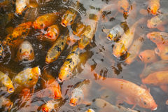 Koi Swimming at Pond Surface Royalty Free Stock Images