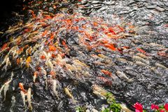 Koi swimming in a water garden stock images