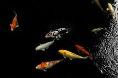 Koi swimming in a water garden,Colorful koi fish. Detail of colorful japanese carp fish swimming in pond royalty free stock images