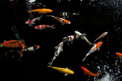 Koi swimming in a water garden,Colorful koi fish Royalty Free Stock Images