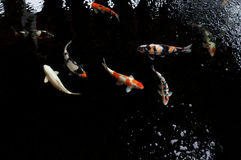 Koi swimming in a water garden,Colorful koi fish royalty free stock image