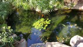 Koi Swimming in Waterlily Pond. Koi fish swimming in waterlily pond at the Center for Spiritual Enlightenment in Encinitas California Stock Image