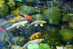 Koi Teich Lizenzfreies Stockfoto