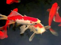 Koi und Goldfish stockfotos