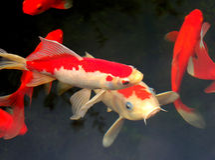 Koi und Goldfish