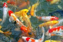 Koi variopinto pesca il nuoto nello stagno fotografie stock libere da diritti