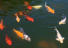Koi in the water. Royalty Free Stock Photography