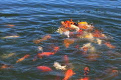 Koi in the water. Stock Photos