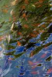 Koi in water. Koi fish swimming in pond royalty free stock image
