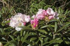 Koichiro Wada för rhododendronyakushimanum` `, Fotografering för Bildbyråer