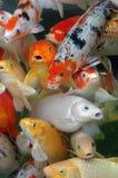 Koifish Fotografie Stock