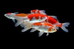 Koifish colordiversity asian. Architecture asian building colordiversity colorful delicacy fish fishbackground fishdelicacy fishpond fishpopulation fishswarm Stock Photo