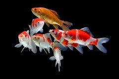 Koifish-colordiversity Asiat stockfoto
