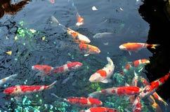 Kois в бассейне стоковое изображение
