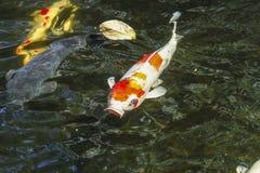 Kois carp in a pond Stock Image