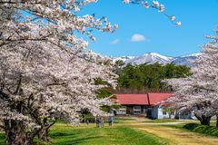 Free Koiwai Farm In Springtime Cherry Blossom Season ( April, May ) In Sunny Day Morning Royalty Free Stock Image - 167345016