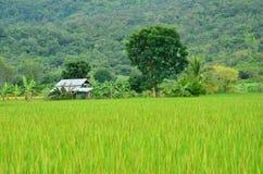 Koja av den gröna risfältet Arkivfoto