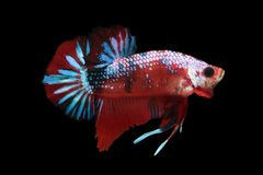 Koja boju ryba Zdjęcie Royalty Free
