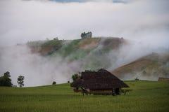 Koja i ricefält royaltyfri bild
