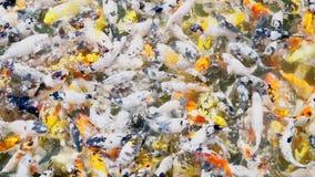 Koja karpia ryba pływa w stawowym zwolnionym tempie zbiory