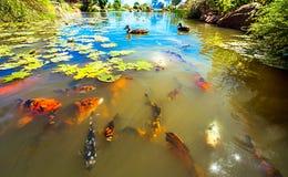 Koja w Shoyoen ogródzie w Dubbo Fotografia Royalty Free