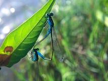 Kojarzyć w parę dwa błękitnego dragonflies na liściu Zakończenie w górę dwa pięknych damselflies kojarzyć w parę podczas lęgowego fotografia royalty free