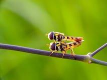 kojarzyć w parę pszczoły na gałąź obraz royalty free