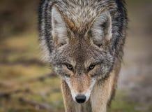 kojot Zdjęcia Royalty Free