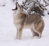 kojot Zdjęcie Stock