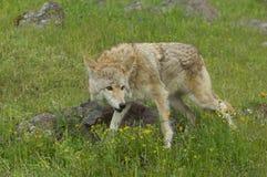 kojot Obraz Stock