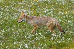 Kojot fotografia stock