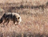 Kojot Obraz Royalty Free