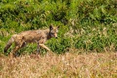 kojot Zdjęcie Royalty Free