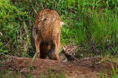 Kojot (Canis latrans) Szczeni się wystrzały Przewodzi z Densite Obraz Stock