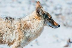 Kojot (Canis latrans) w Śmiertelnej dolinie Fotografia Royalty Free