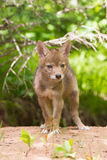 Kojot ciuci portret Fotografia Royalty Free